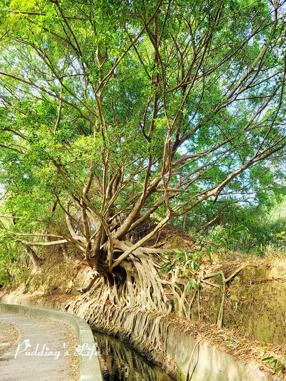 知高圳步道-榕樹