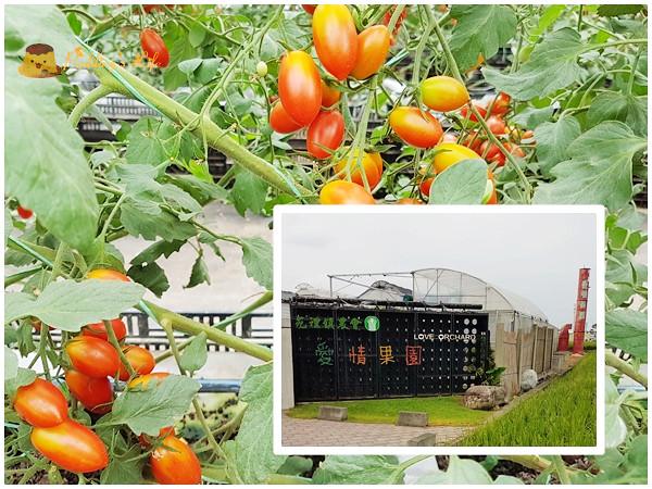 【苗栗旅遊】苑裡-農會親子農場採果趣《愛情果園》溫室裡的番茄園