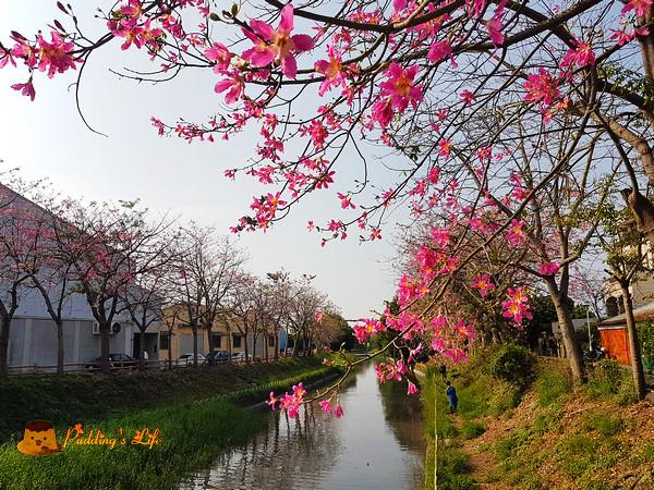 【彰化旅遊】秋季浪漫粉紅吹雪《北斗河濱公園》河畔美人樹