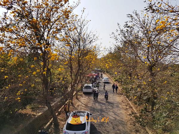 【嘉義旅遊】朴子溪防汛道南堤《黃花風鈴木黃金隧道》2018花開五成